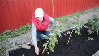 Заботы в малиннике: как пригнуть и обрезать на зиму