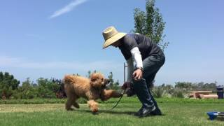 GOLDENDOODLE PUPPY TRAINING SAN DIEGO | LAYLA