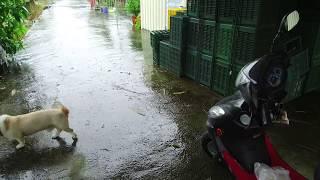 [[散步直播]128_南部暴雨,來果園看看淹水狀況