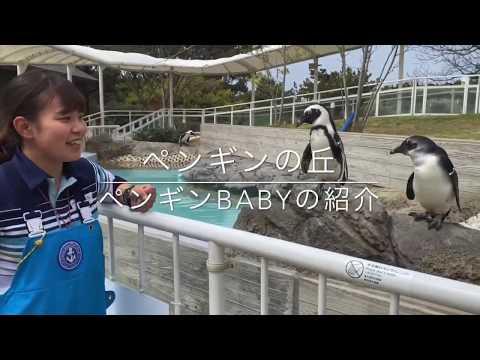 ペンギンBabyの紹介