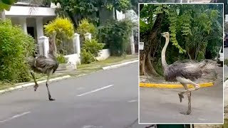 Escaped Ostrich Runs Down Street In The Philippines