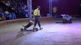 Цирковой номер дрессированные собачки короткий вариант. Performing dogs. CIRCUS