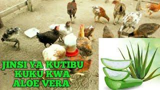 Jinsi Ya Kutibu Magonjwa Ya Kuku Kwa Aloe Vera