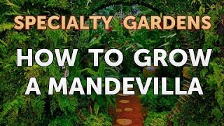 How to Grow a Mandevilla