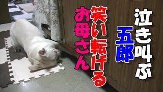 鹿の角で大騒ぎするフレンチブルドッグ五郎!French Bulldog Goro Who Makes A Big Noise At The Horn Of Deer!