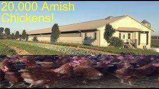 Amish chickens