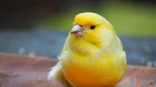 Kanarya Sesi - Eğitim - Ders - Huylandırma - Öttürme - Canary Sing - Uzun Vers..