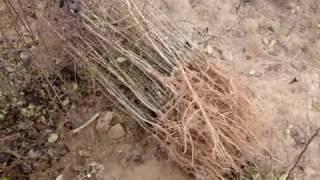 Подвои для груши дикая лесная от компании Крестьянское фермерское хозяйство Сеянец - видео