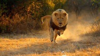 Охота на льва в РОССИИ!! Подстрелили льва 18+