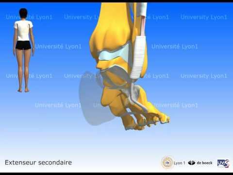 La forme les muscles mimiques