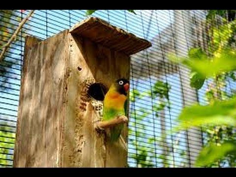 Video Cara Cepat Beternak Lovebird (Lovebird Breeding)