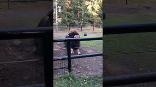 animales un búfalo en el zoológico