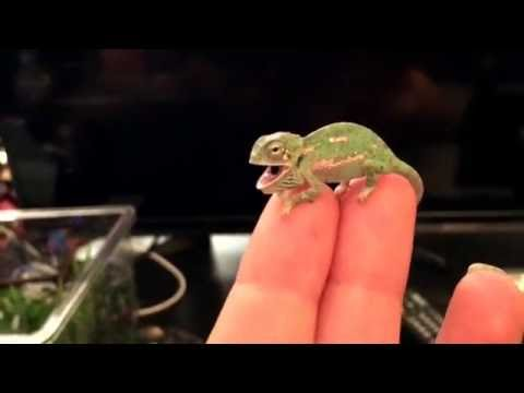 Baby Chameleon First Color Change