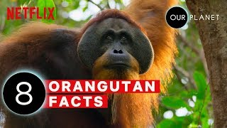 8 Mind Blowing Orangutan Facts | Our Planet | Netflix