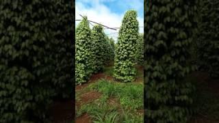Vườn Tiêu Tuyệt đẹp Do Công Ty Quốc Cường ĐăkLăk đầu Tư
