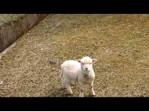 , title : '追いかけてきた赤ちゃん羊。