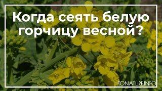 Когда лучше сеять горчицу весной или осенью