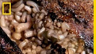 Maggot Medicine | National Geographic thumbnail