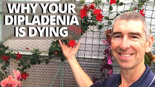WHY YOUR DIPLADENIA (MANDEVILLA) IS DYING