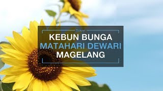 Lokasi Selfie Hits Baru di Magelang, Kebun Bunga Matahari Taman Dewari, Indah Banget