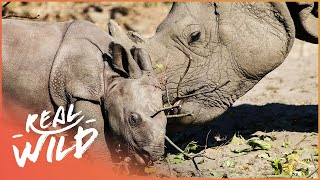 Rhino Mothers Looking After Misbehaving Calves | Wild Family Secrets | Wild Things Shorts