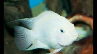 Аквариумная рыбка. Цихлида