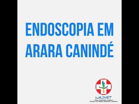 Endoscopia em Arara Canindé