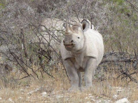 2 Black Rhino's in Etosha NP - Namibia
