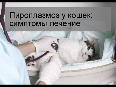 Пироплазмоз у кошек: симптомы лечение