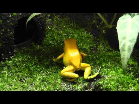 Golden Poison Frog, Phyllobates terribilis - Terrarium and Eating