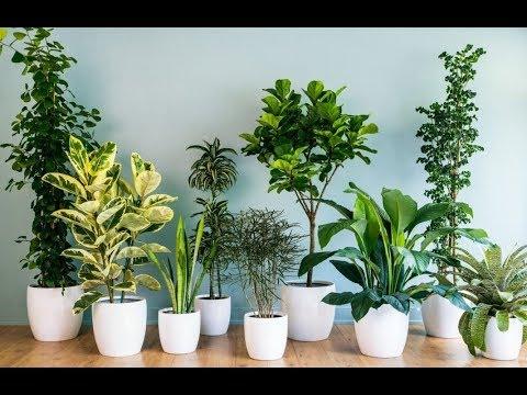 Почему ЖЕЛТЕЮТ И СОХНУТ кончики листьев комнатных растений. Основные причины и методы решения