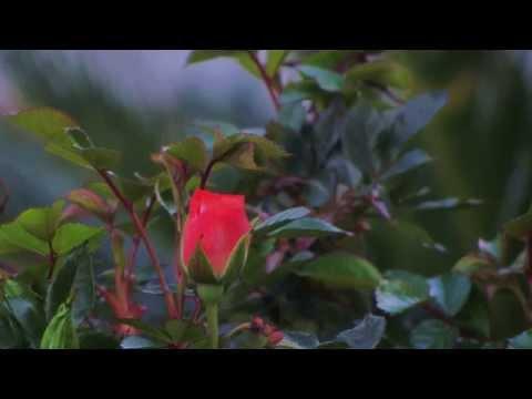 Sunday Respite – 'The Rose'