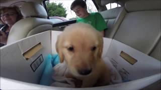 Getting My New Golden Retriever Puppy