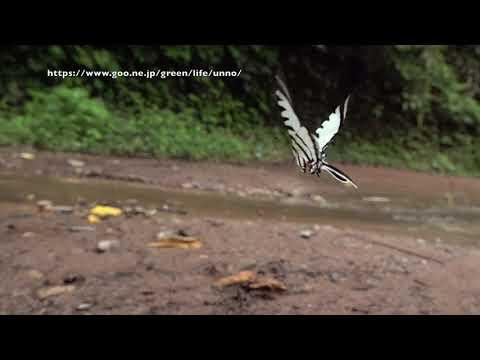 アゲシラウスタイマイの飛翔 Neographium agesilaus