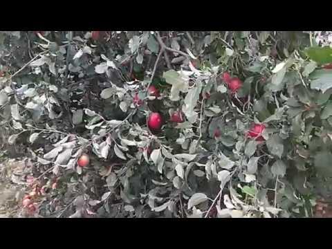Яблочный бум!!! Село Новополянье!!! Липецкая область!!;
