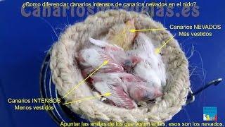 ¿Como Diferenciar Canarios Intensos De Canarios Nevados En El Nido?