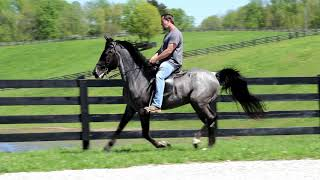 Blue Roan Rocky Mountain Stallion. Trained By Travis Robinsons Gaited Equine