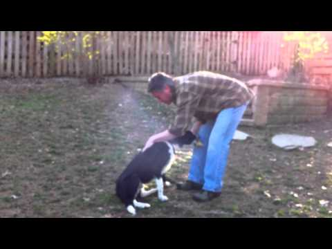 Terrific Dogs Presents: Training Sample- Riley in Backyard with Parents