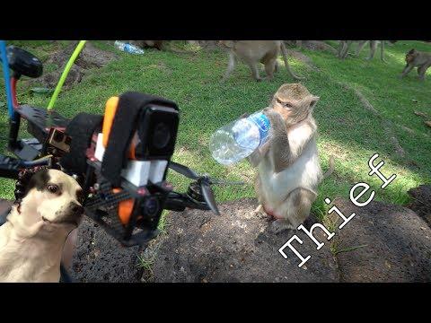Monkeys Steal my Drone