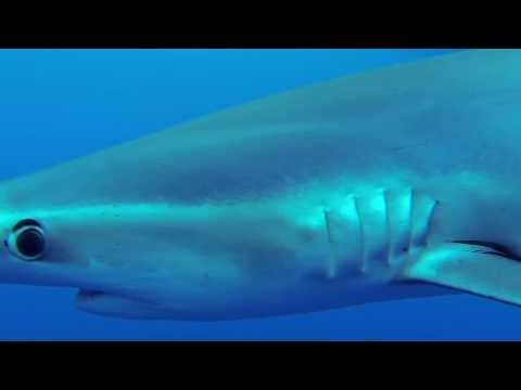 Blue Sharks in Atlantic Ocean - Azores, Condor Banks,Azoren,Portugal