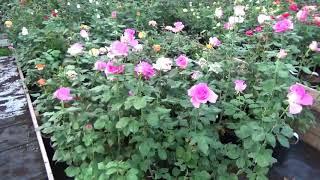 Питомник Розебук. Волна цветения