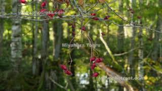 ヒロハツリバナの動画素材, 4K写真素材