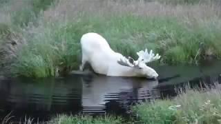 جاموس ابيض  Moose
