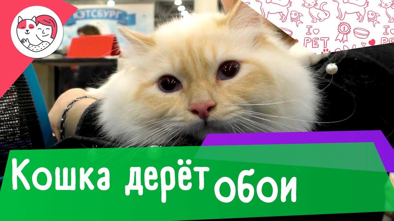 4 совета, как отучить кошку драть обои