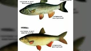 Голавль рыба фото на что клюет