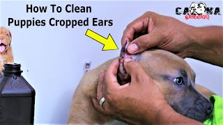 How To Clean Your Puppies Recently Cropped Ears (American Bullies And Pitbulls, Doberman, Corso)