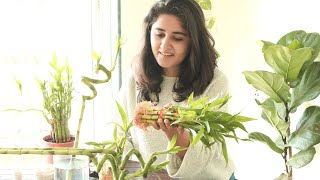 My Secret to Grow Healthy Lucky Bamboo Indoors & Propagate Easily