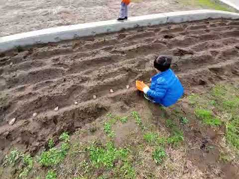 たねじゃが植え:南島原市加津佐町 若木保育園20200108