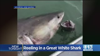 Great White Shark Surprise, Click for Video!