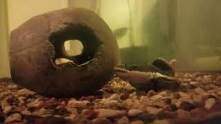 My red tail catfish ate my silver arowana